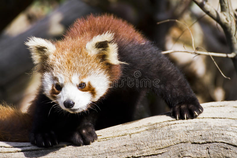 Download Red panda stock photo. Image of lesser, zoological, climb - 26141872