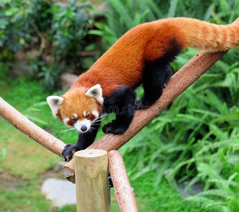 Download Red panda stock image. Image of bamboo, chengdu, nepalese - 27449655
