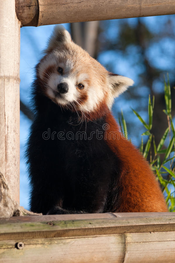 Red panda. Small red panda (Ailurus fulgens) looking at camera stock image
