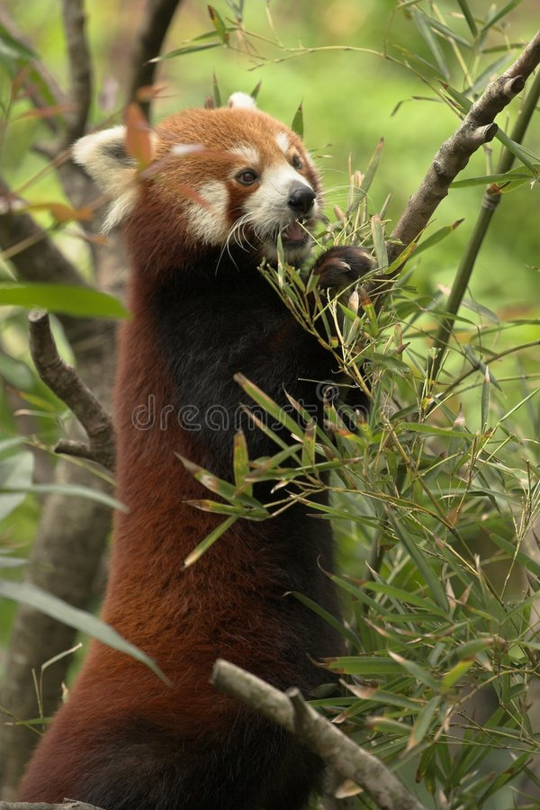 Download Red Panda stock image. Image of tropics, cute, extinction - 389167