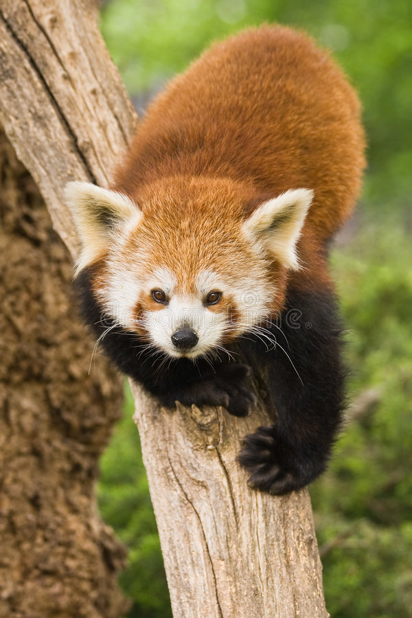 Red Panda. S are most active at dawn and dusk and live in the slopes of the south of the Himalayas and the mountainous forests of the southwest of China stock image