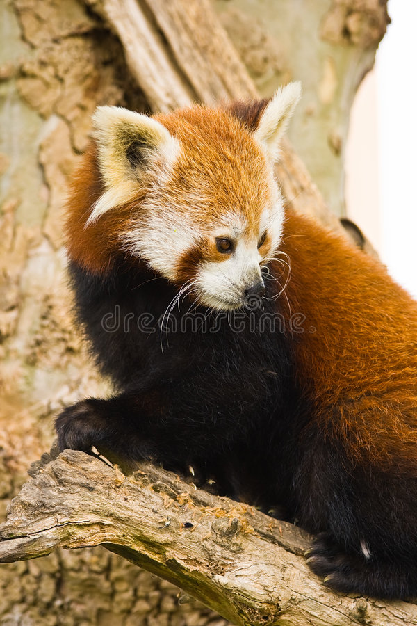 Red Panda. S are most active at dawn and dusk and live in the slopes of the south of the Himalayas and the mountainous forests of the southwest of China royalty free stock images