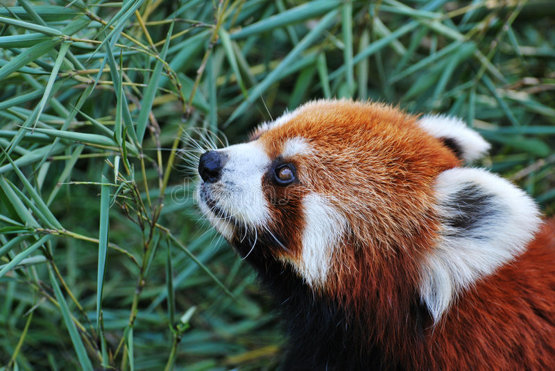 Download Red Panda stock photo. Image of lesser, wild, firefox - 8409400
