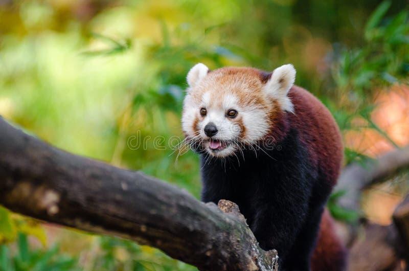 Download Red Panda stock image. Image of bedroht, 2015, green - 85126385