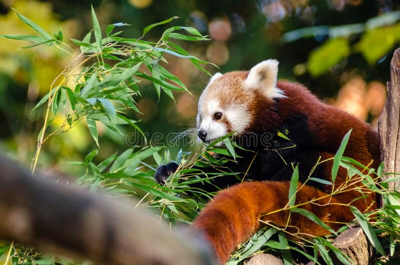 Download Red Panda stock image. Image of adorable, grã¼n, animals - 85127549