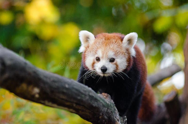 Download Red Panda stock image. Image of fall, female, 2015, endangered - 85149549