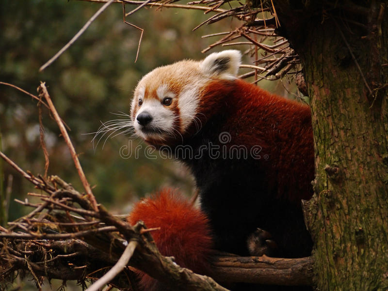 Red Panda. An adorable red panda sat in a tree with its distinctive orange ginger fur stock image