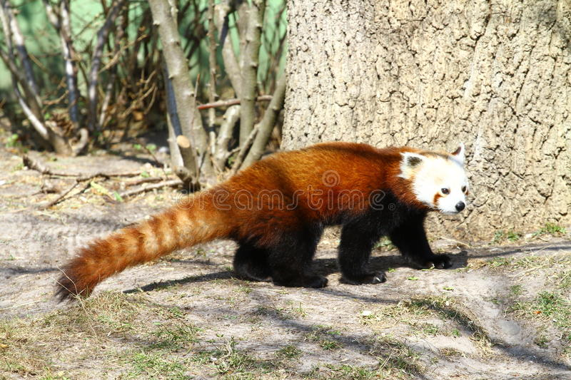 Red Panda. An adorable red panda. The red panda is slightly larger than a domestic cat. It has reddish-brown fur, a long, shaggy tail stock images