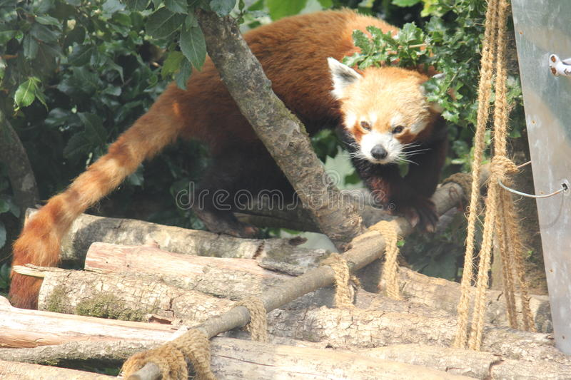 A red panda. An adorable red panda trying to hide behind the leaves royalty free stock images
