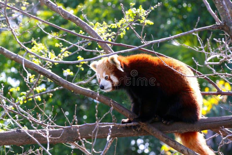 Red Panda - Ailurus fulgens stock photography