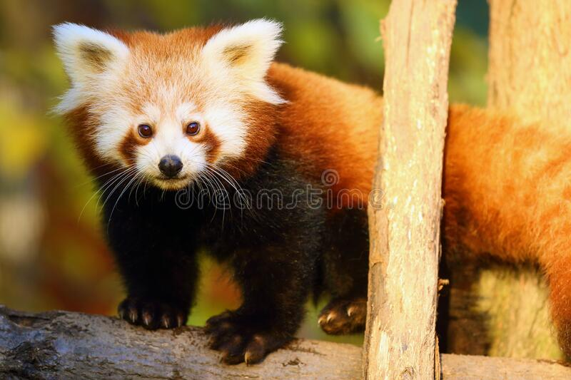 Red panda Ailurus fulgens , fire fox or lesser panda, the red bear-cat, and the red cat-bear, portrait in the afternoon. The red panda Ailurus fulgens , fire fox stock photos