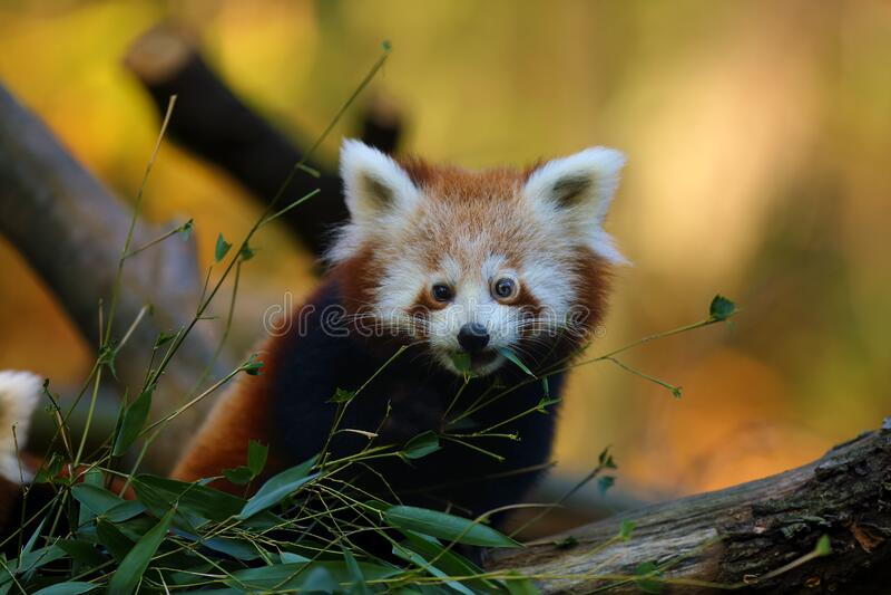 Red panda Ailurus fulgens , fire fox or lesser panda, the red bear-cat, and the red cat-bear, portrait in the afternoon. The red panda Ailurus fulgens , fire fox stock image