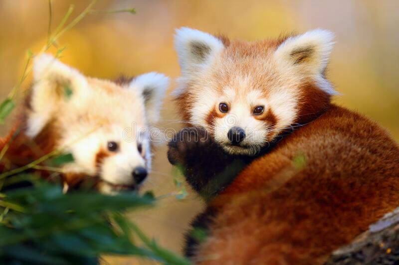 Red panda Ailurus fulgens, firefox or lesser panda, the red bear-cat, and the red cat-bear, portrait in the afternoon light. The red panda Ailurus fulgens stock photo