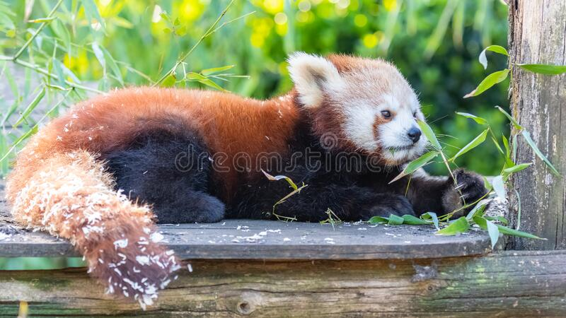 Red panda. Ailurus fulgens, portrait of a cute animal royalty free stock photo