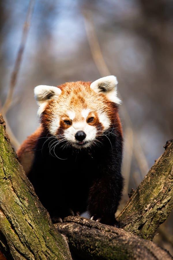 Red Panda (Ailurus fulgens) royalty free stock photo