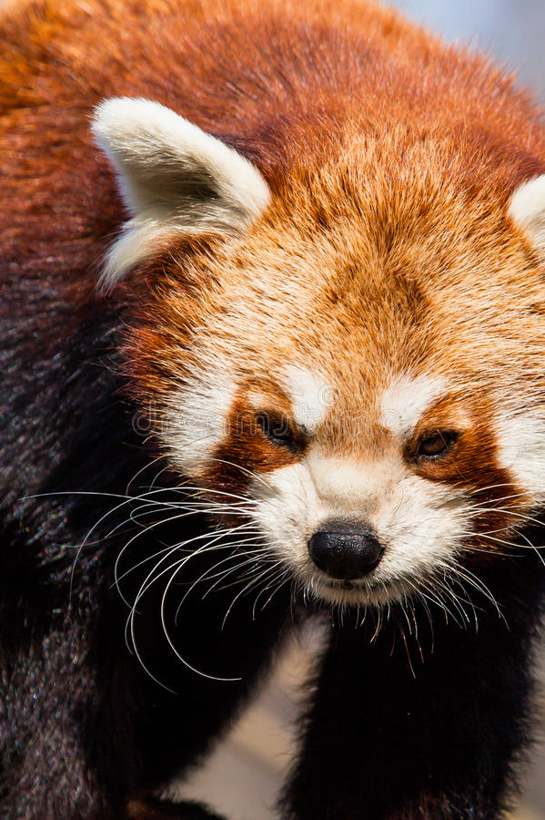 Red Panda (Ailurus fulgens) royalty free stock photos