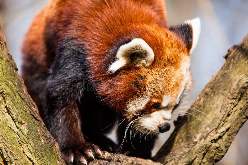 Red Panda (Ailurus fulgens) stock photography