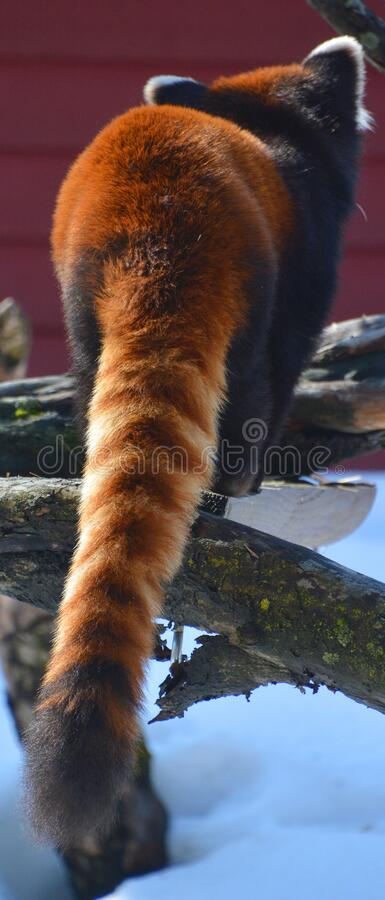 The red panda Ailurus fulgens tail. The red panda Ailurus fulgens, also called lesser panda and red cat-bear, is a small arboreal mammal native to the eastern stock photography