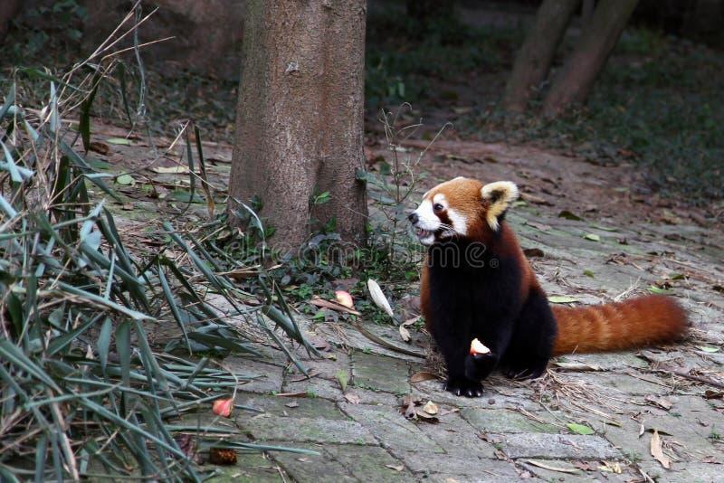 Red Panda royalty free stock photography