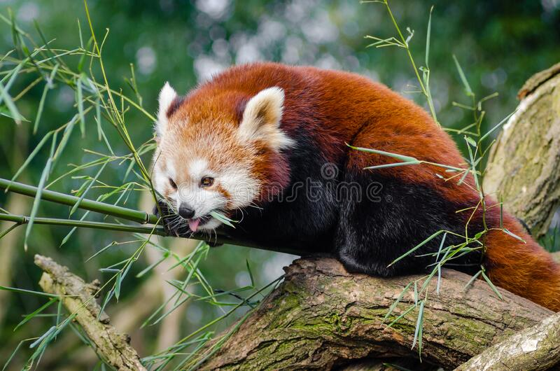 Red Panda on Bamboo Tree Branc royalty free stock image