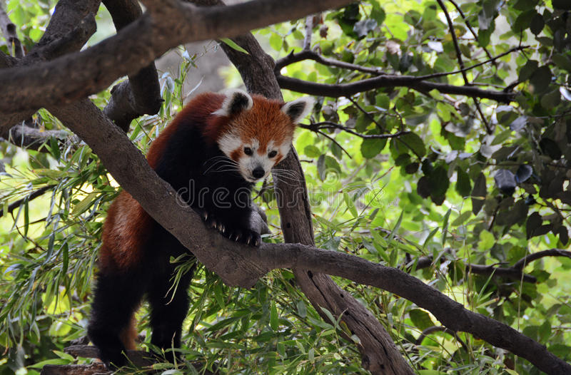 Red Panda. Climbing in tree stock images