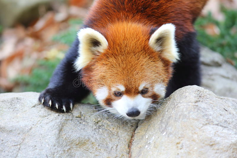 Red panda bear stock images