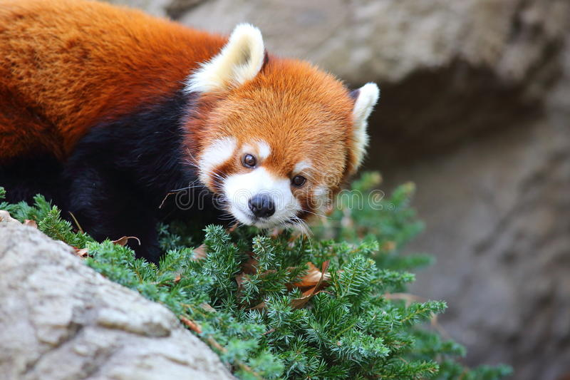 Red panda bear. (Ailurus fulgens royalty free stock photography
