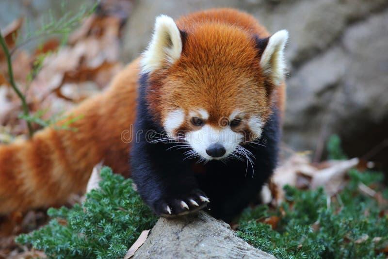 Red panda bear stock photos