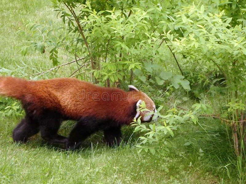 Red panda bear stock photo