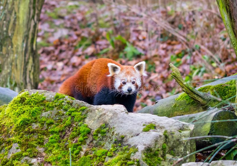Red panda bear portrait, with stones in foreground. stock image