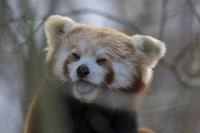 Red panda, bear, sitting in tree close up and portrait while laughing or licking air. Humorous stock photo