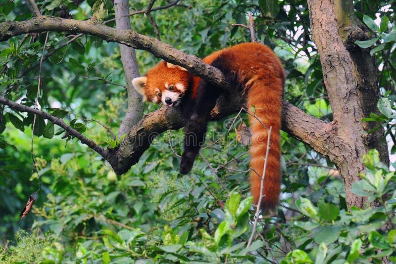Red panda bear in tree stock image