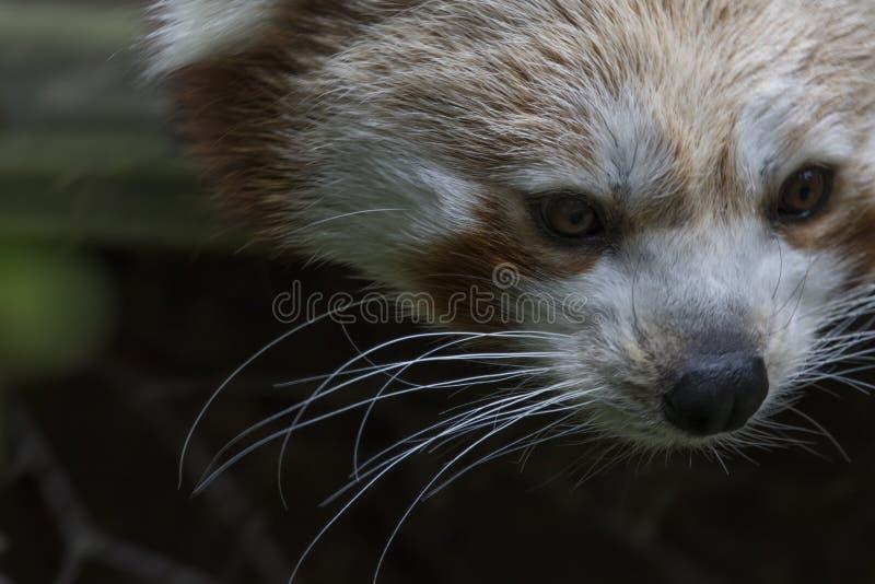 Red panda behaviour, scratching, yawning, portrait. Red panda behaviour shot of yawning, scratching, portrait, close up and through trees royalty free stock image