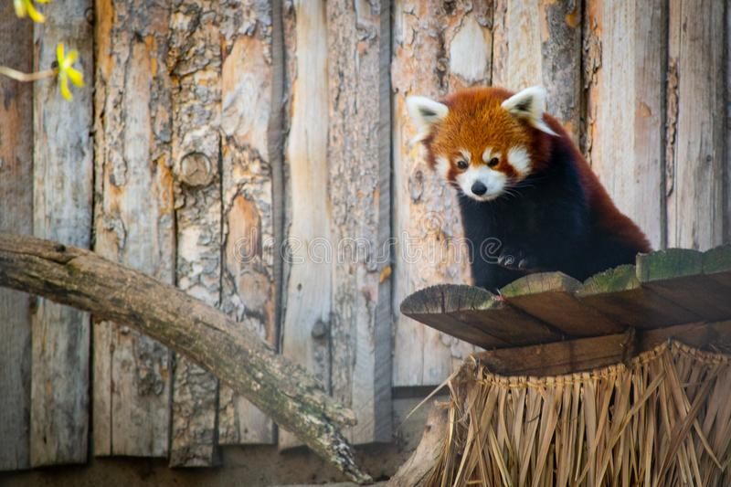 Red Panda on Brown Wooden Surface stock image