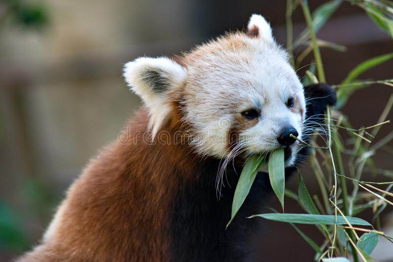 Red Panda. Cat bear close-up eating bamboo leaves stock photos