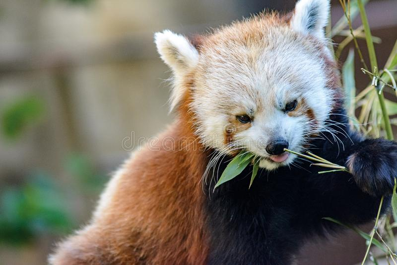 Red panda, cat bear close-up stock image