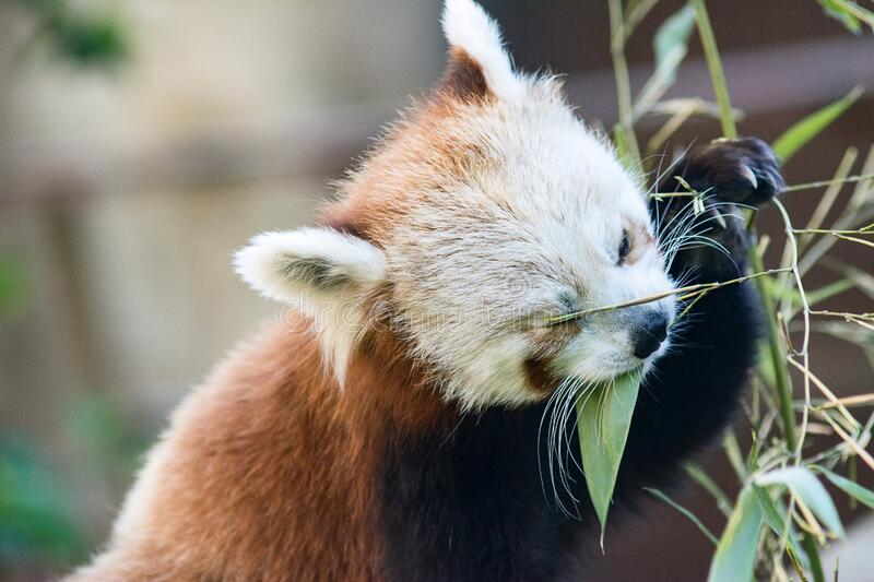Red Panda, cat bear close-up eating bamboo royalty free stock images