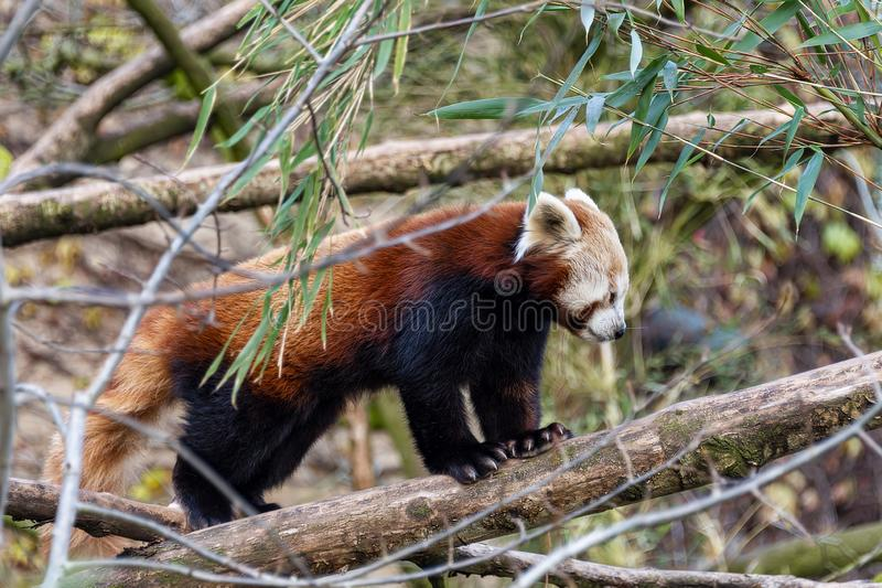 Red Panda che cammina su un ramo fotografia stock libera da diritti