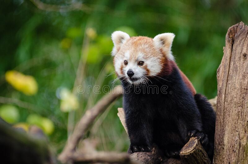 Red Panda in Close Up royalty free stock photo
