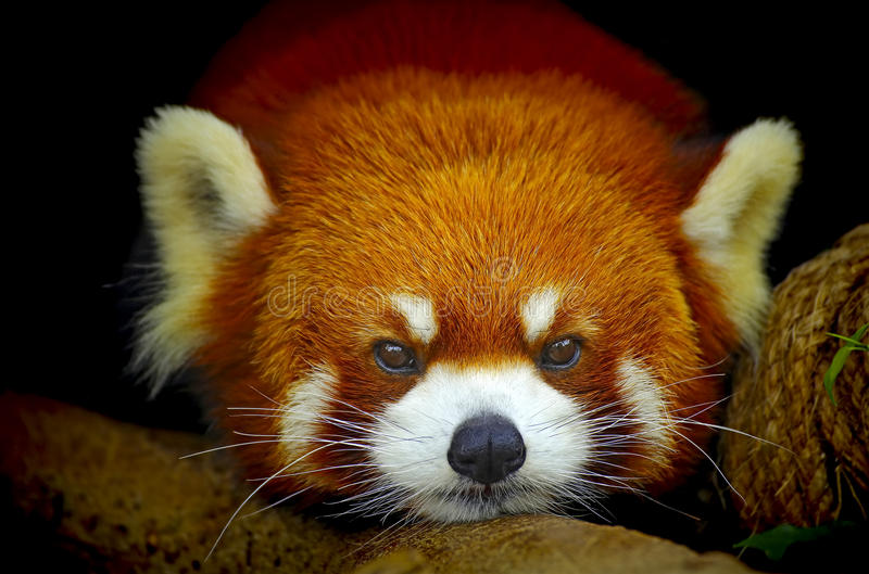 Red panda. Close up of the face of a red panda resting on a tree trunk stock photos