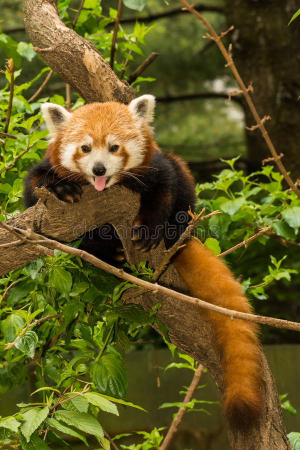Red Panda. A close up of a young Red Panda stock images