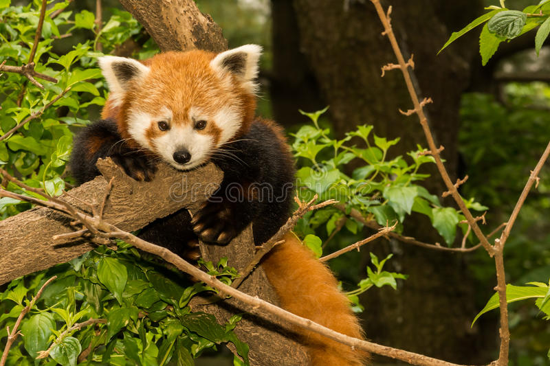 Red Panda. A close up of a young Red Panda royalty free stock image