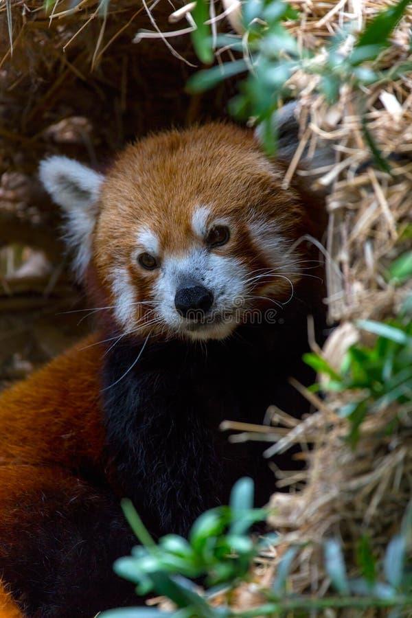 Red Panda Closeup stock images