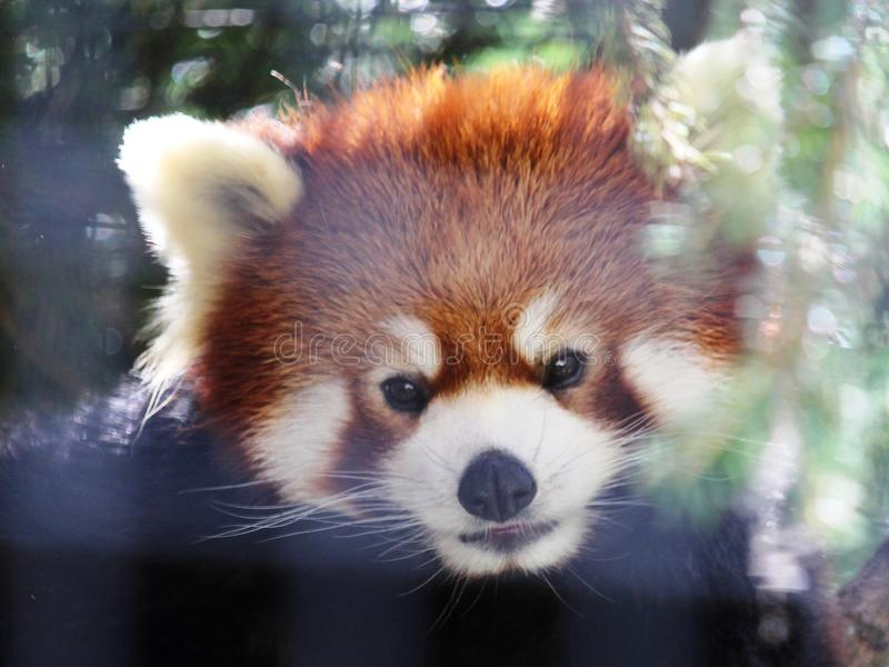 Red panda. The cute face of a red panda in a tree stock photos