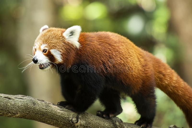 Red Panda. Cute Red Panda in nature during the day stock image