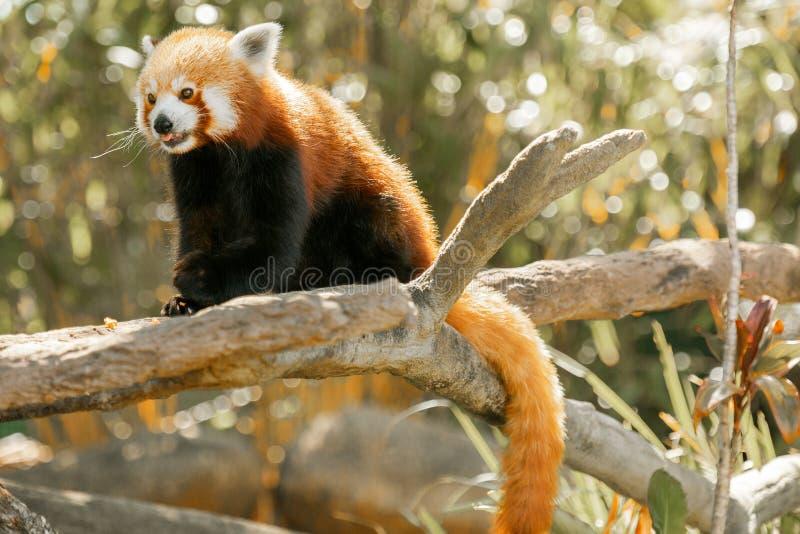 Red Panda stock afbeeldingen