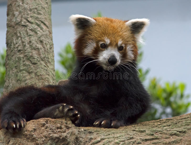 Red Panda. Display at the River Safari Park Singapore stock photo
