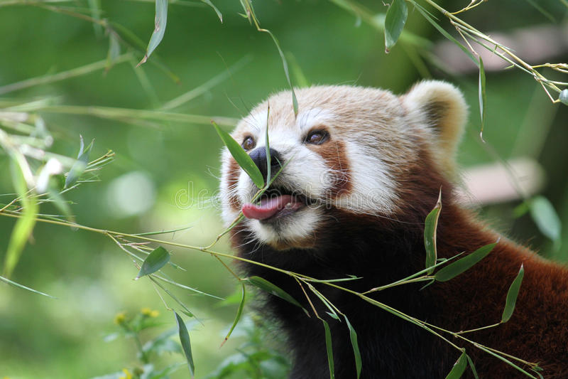 Download Red panda eating stock image. Image of panda, mammal - 14700963