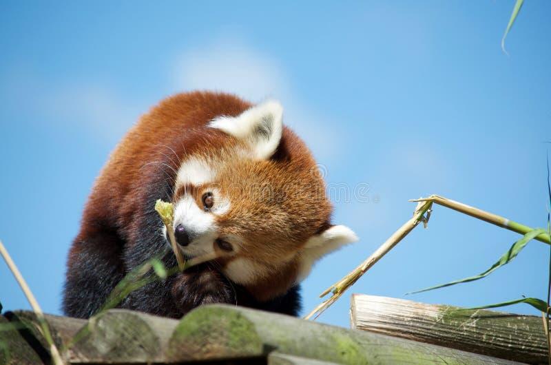 Red Panda eating bamboo royalty free stock photography