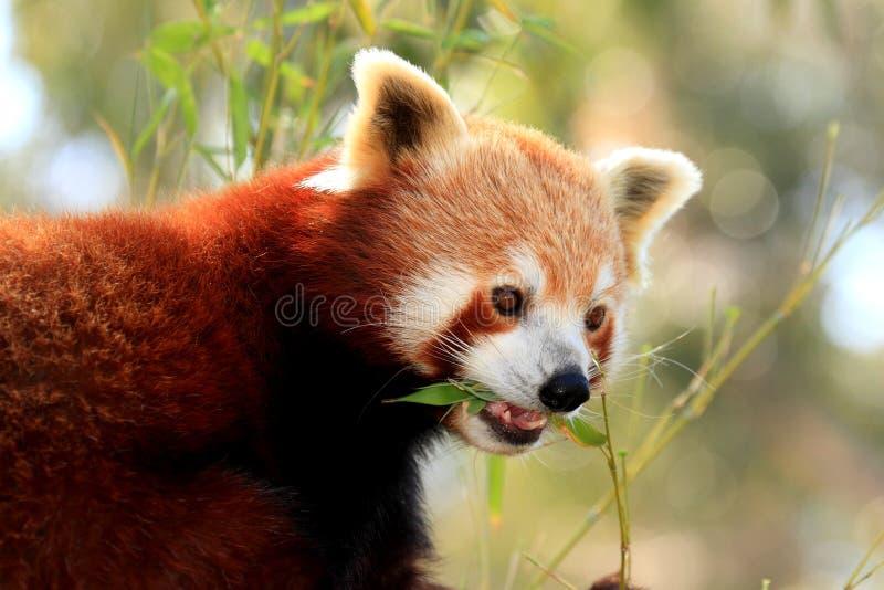 Red Panda eating royalty free stock image